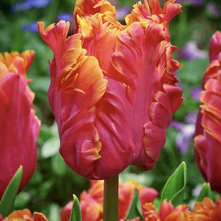 Tulip, Parrot Flowering Late 'Amazing Parrot' 5 Bulbs