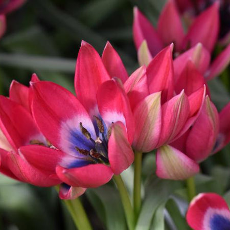 Tulip, Botanical 'Little Beauty' 10 Bulbs