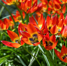 Tulip, Botanical 'Little Princess' 10 Bulbs