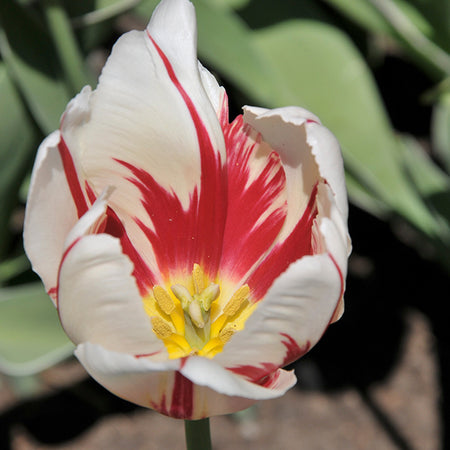 Tulip, Mid 'Canadian Celebration' 10 Bulbs