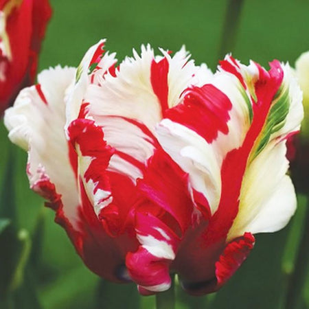Tulip, Parrot Flowering Late 'Estella rijnveld' 5 Bulbs