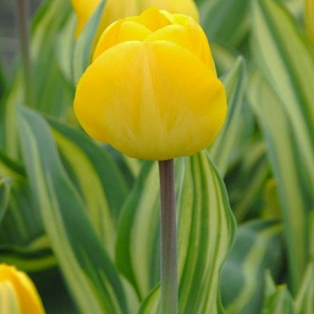 Tulip, Mid-Late 'Yellow Wave' 10 Bulbs