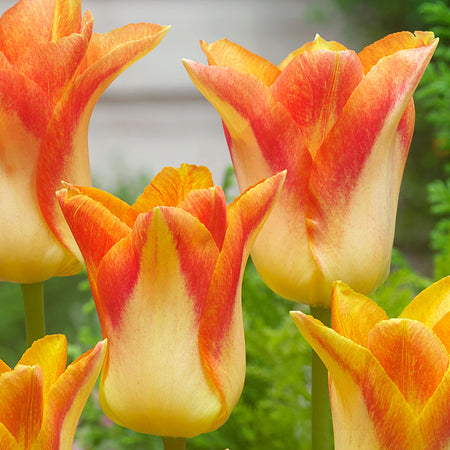 Tulip, Lily Flowering Mid-Late 'Moonblush' 5 Bulbs