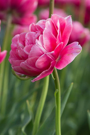 Tulip, Early double 'Aveyron 10 Bulbs