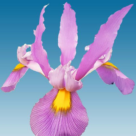 Iris Dutch 'Pink Panther' 5 Bulbs
