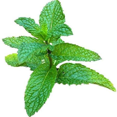 Mentha x villosa 'Mojito' mint has the perfect aromatic flavour, not overly sweet nor pungent. Resembles spearmint varieties but it's contribution to a dish or cocktail can't be replicated by any other mint.