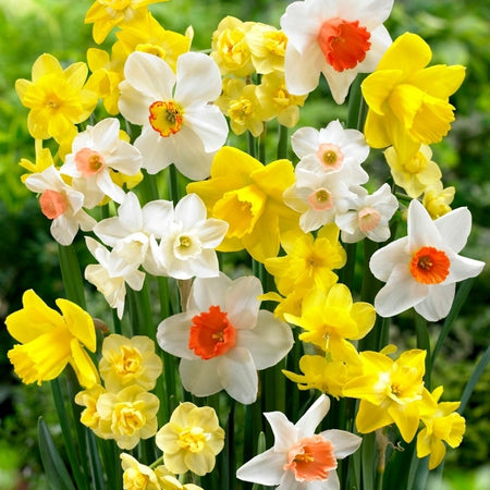 Narcissus 'Fragrant Mix'