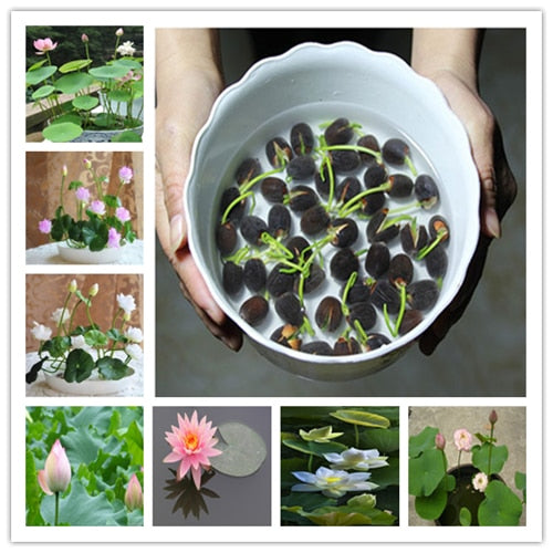 10PCS Bonsai Lotus Flower Seeds - Garden Decoration