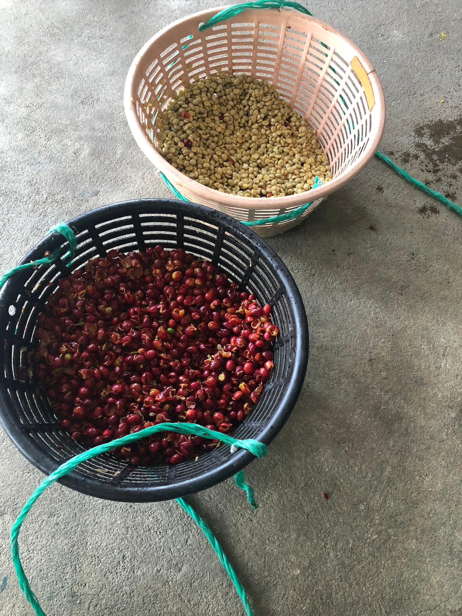 Processing our harvested coffee.