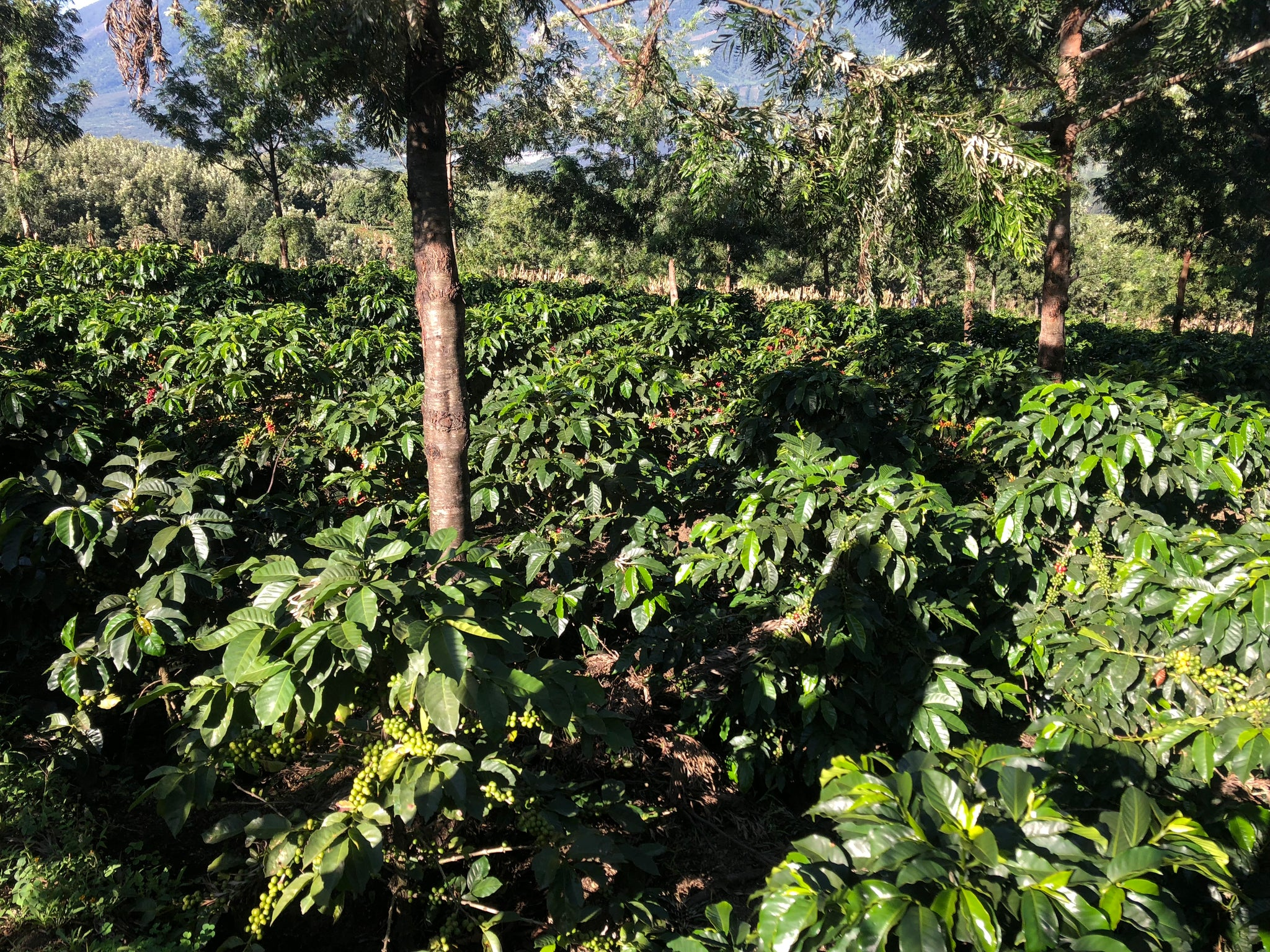 Guatemalan Coffee Farm Experience
