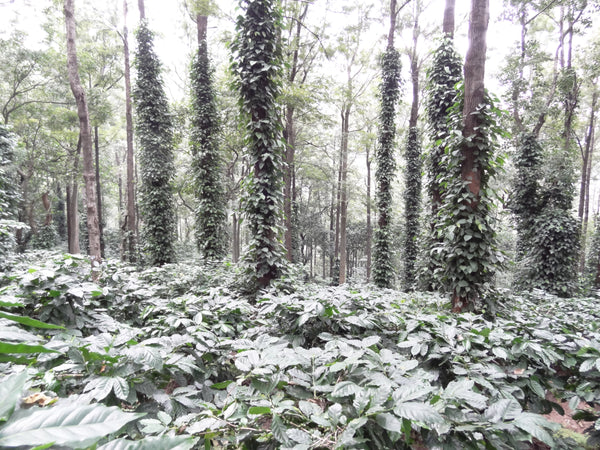 Coffee from Araku Valley (Andhra Pradesh)