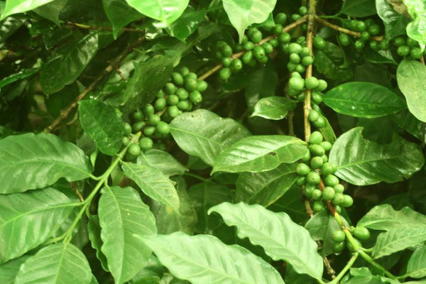 Coffee from Biligiris (Karnataka/Tamil Nadu)