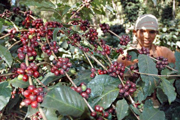 Coffee from the Brahmaputra Region