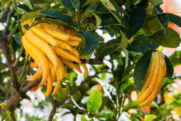 Buddha's Hand (Fingered Citron)