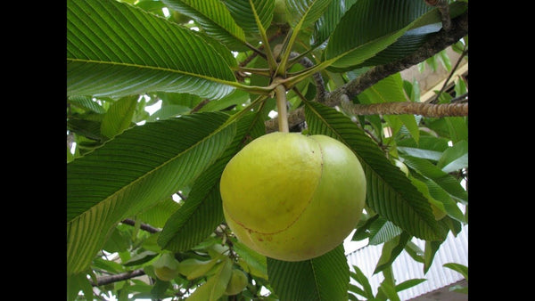 Chalta (Elephant Apple)