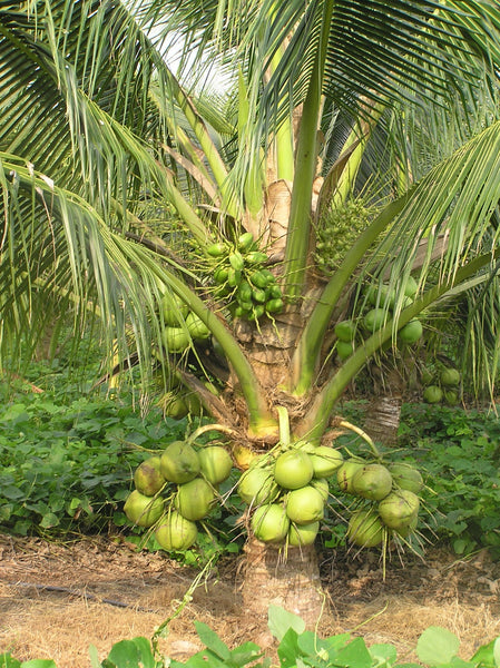 Tender coconut (Young coconut meat)