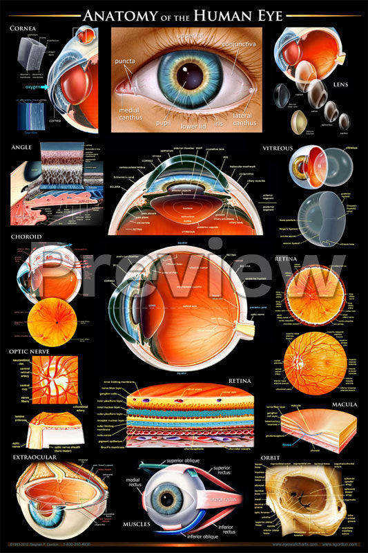 Anatomy of the Eye Poster