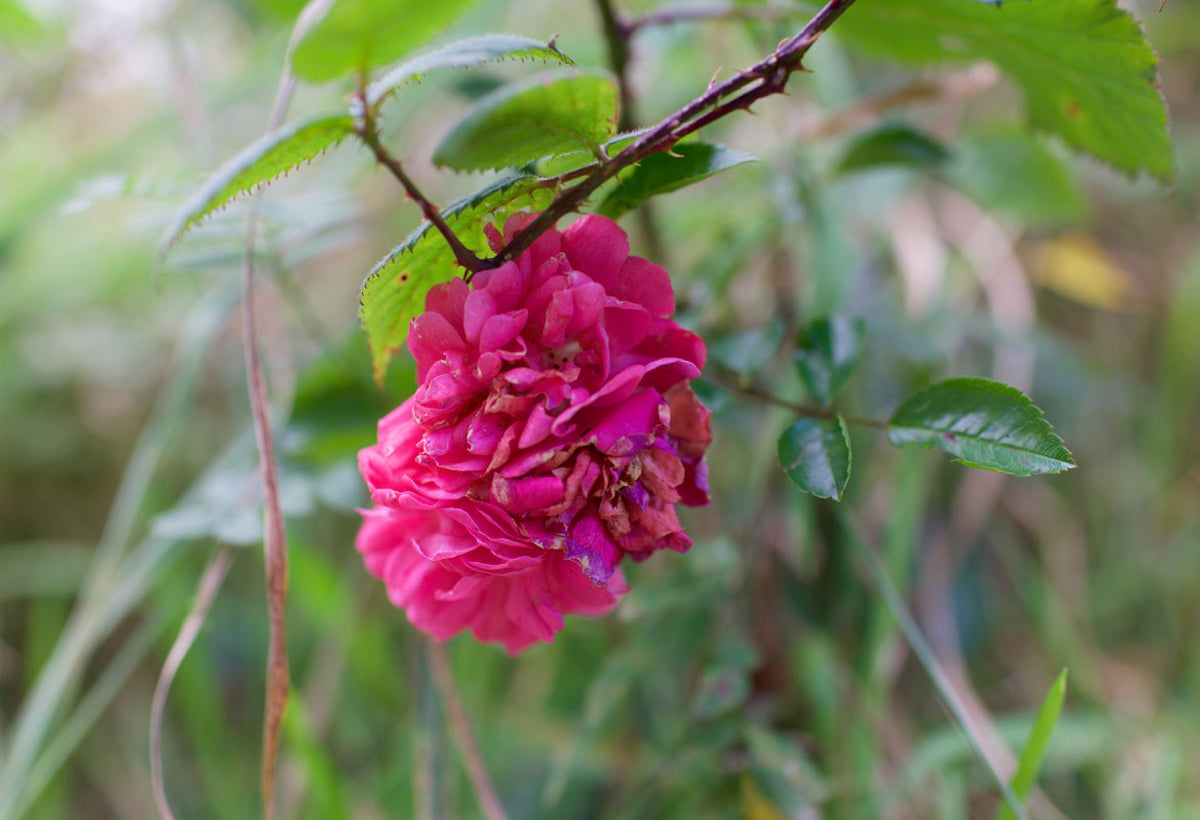 The beauty of Autumn roses