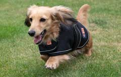 Dachshund running in a dog coat by Ginger Ted