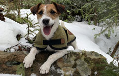 Benji the Jack Russell wearing Ginger Ted Tweed Dog Coat