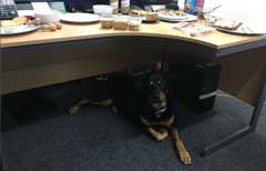 Rescue Rottie Lexi the office dog