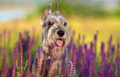 schnauzers are more likely to get hayfever