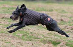 sighthound running in field wearing dog coat