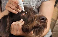 Eye drops to help your dog with hayfever symptoms