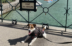 Benji wearing thermal quilted harness dog coat by Ginger Ted