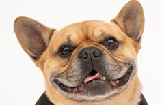 Frenchies make great pets, but look after their health very well