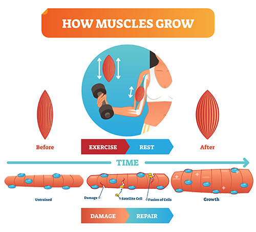 how muscles grow infographic diagram muscle recovery