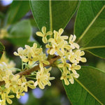 Absolute Osmanthus fragrans