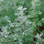 Palina pravá / Common Wormwood