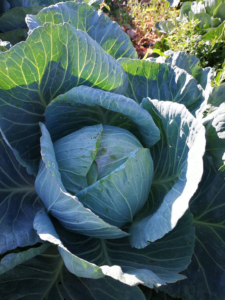 Cabbage - Wholesale