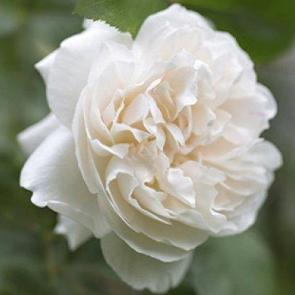 Rose, White - Bulgarian