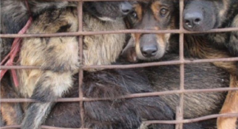 The Yulin Dog Meat Festival and dog meat farms