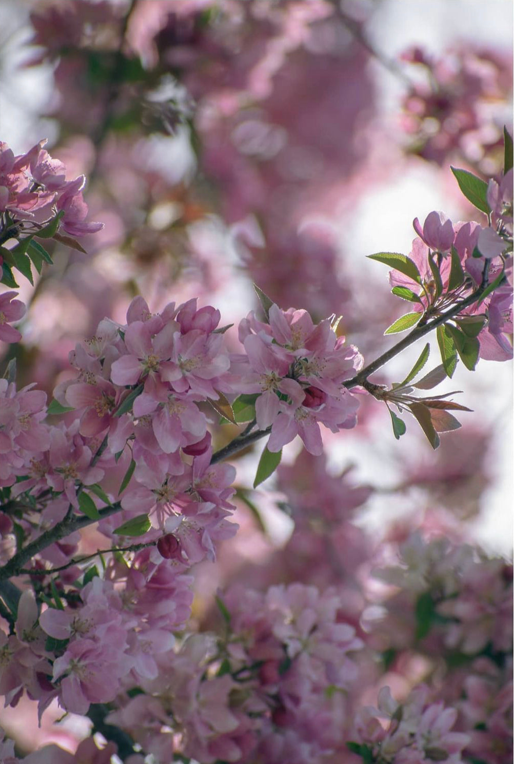 f-stop coffee #coffeeandphotos Boone cherry blossoms