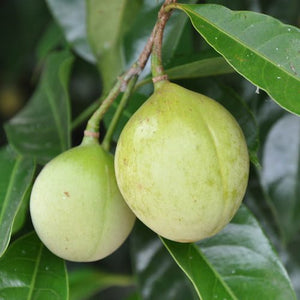 Nutmeg (Myristica fragrans) Organic Essential Oil