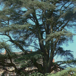 Cedarwood (Cedrus atlantica) Organic Essential Oil