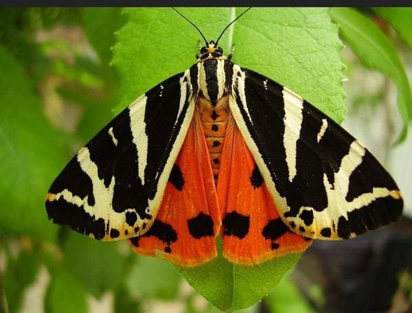 Jersey Tiger Moth Visits My Studio In Bristol