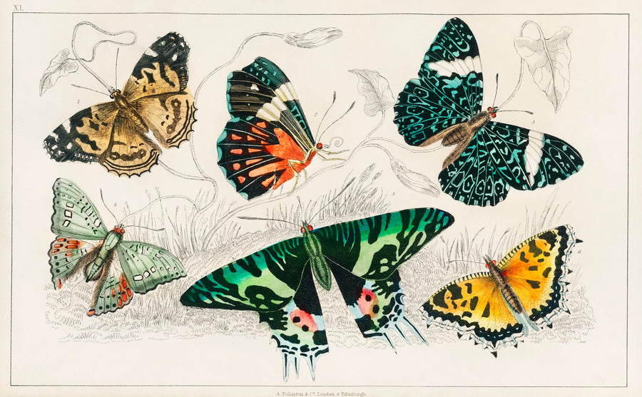 Butterfly Study Vintage Print Downloads