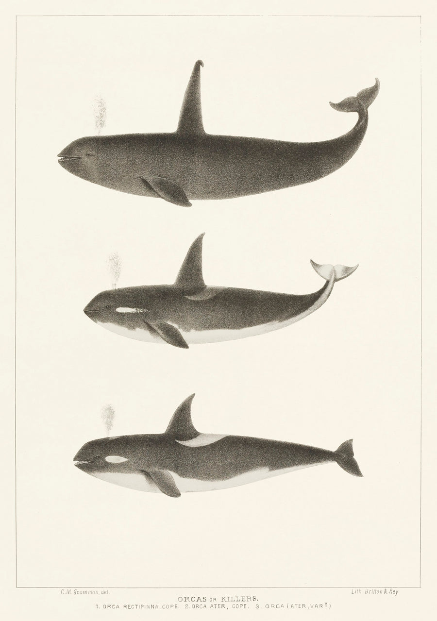 Orca and Killer Whales Vintage Print