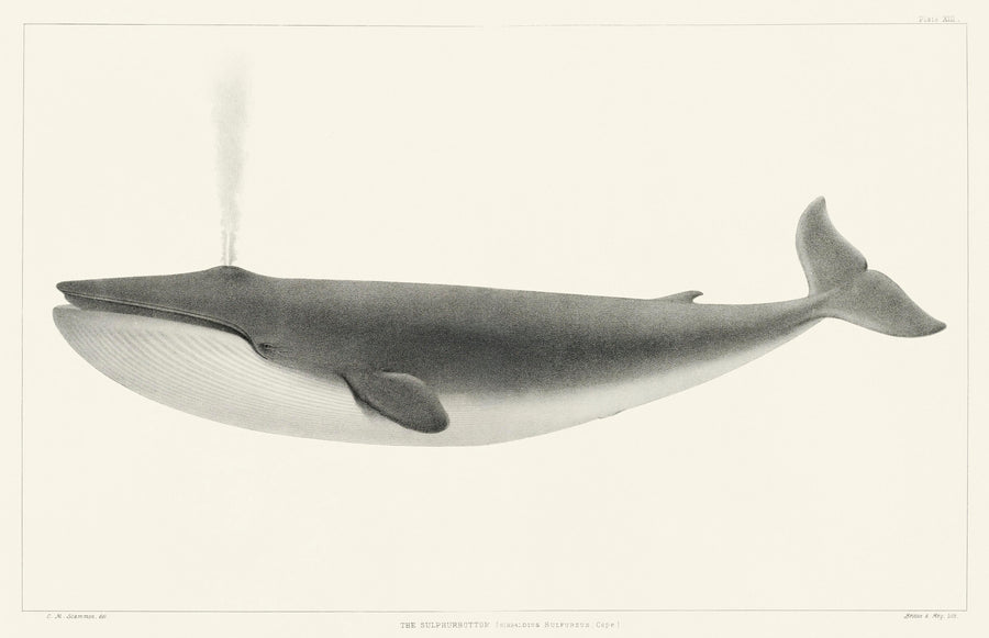The Sulphurbottom Whale Vintage Print
