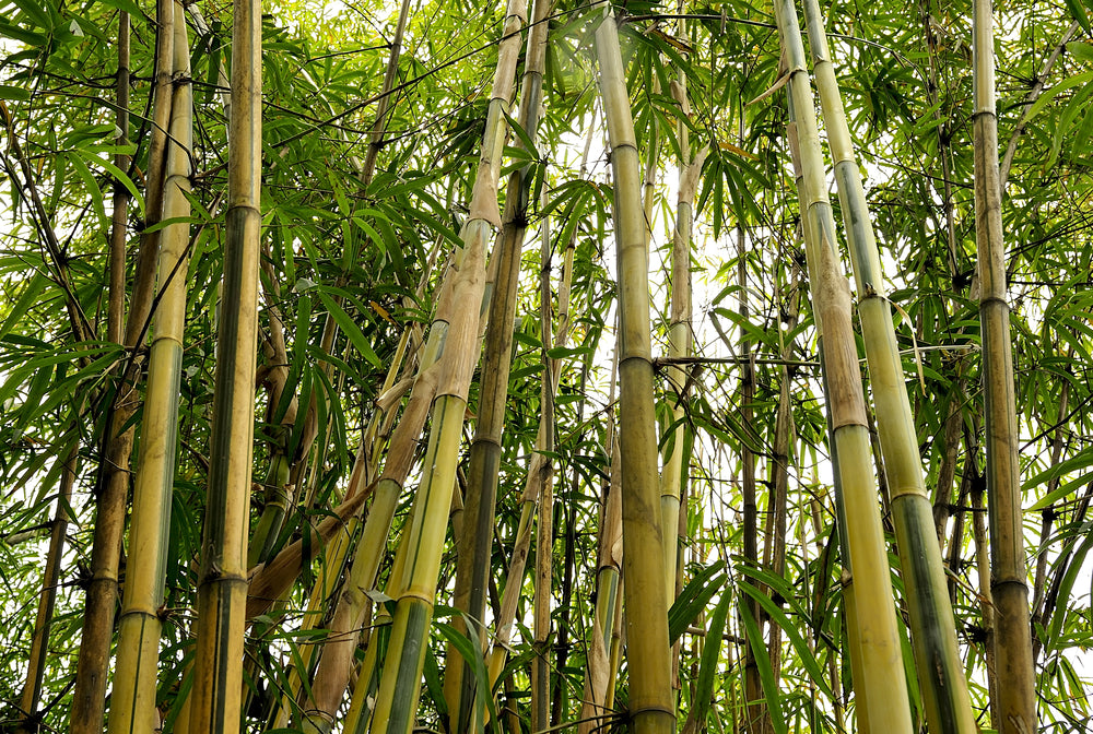 Bamboo sustainable, bamboo earth friendly