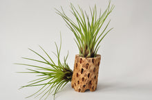 Load image into Gallery viewer, Large Tillandsia Melanocrater Air Plant
