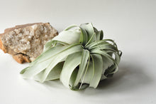 Load image into Gallery viewer, Jumbo Tillandsia Xerographica Air plant