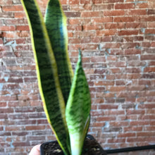 Load image into Gallery viewer, Iowa City delivery or pickup only- snake plant 3""