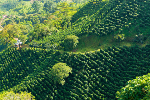 Coffee green fields Eldorado Coffee