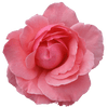 Botanicals Beauty product ingredients rose