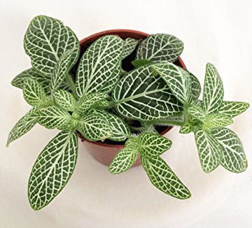October Little Plants - Fittonia White Vein